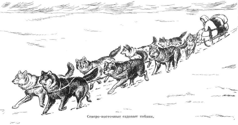 северо-восточные ездовые собаки в упряжке