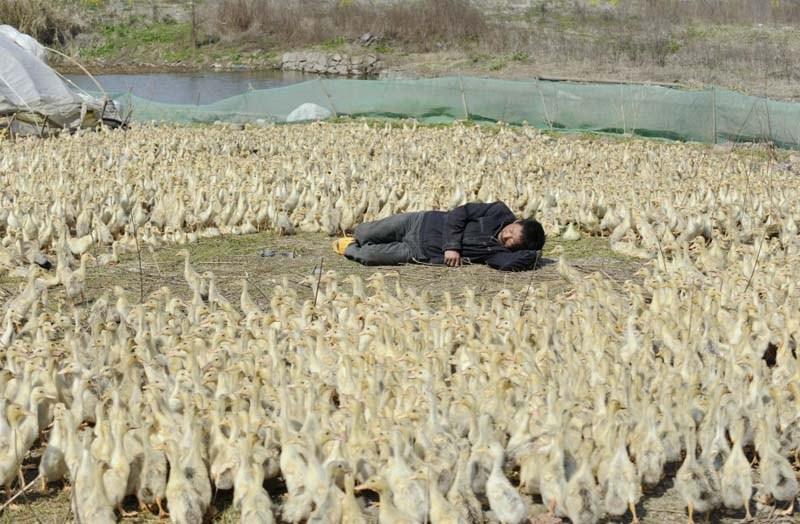 спит пастух среди уток