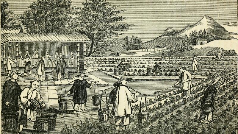 Чай Плантация старинная китайская картинка